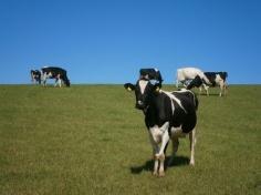 cows_grass_meadow_215117[1]