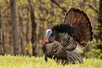 Trying to entice females and ward of other males, this Tom turkey is fully puffed out and his head engorged. Copy space to the left of bird in blurred forest.